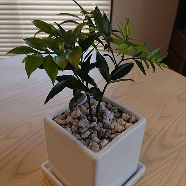 我が家の家族。ぐんぐん育ってます!家に来た時よりひとまわりはでかくなった?枝も伸びる伸びる 、、、。 ???。 ん️ なにこれ?#なぎの木#ネコンテ